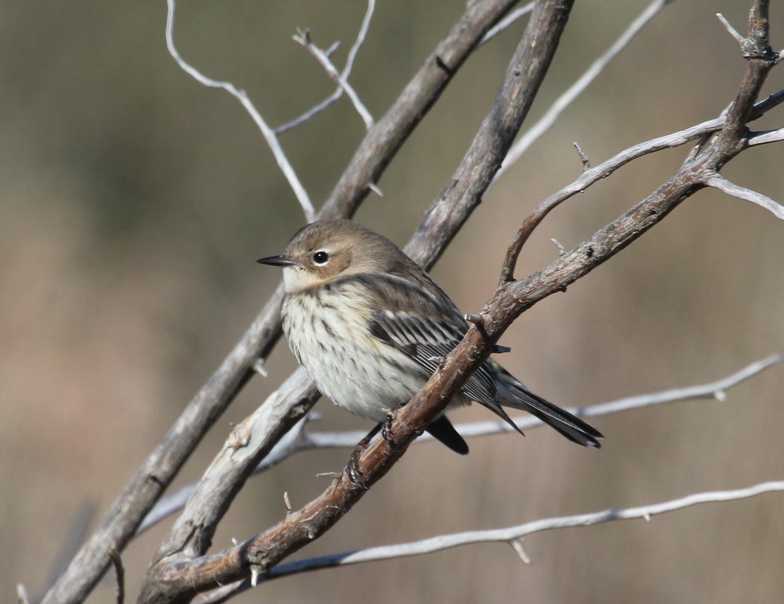 Yellow rumped warbler winter plumage