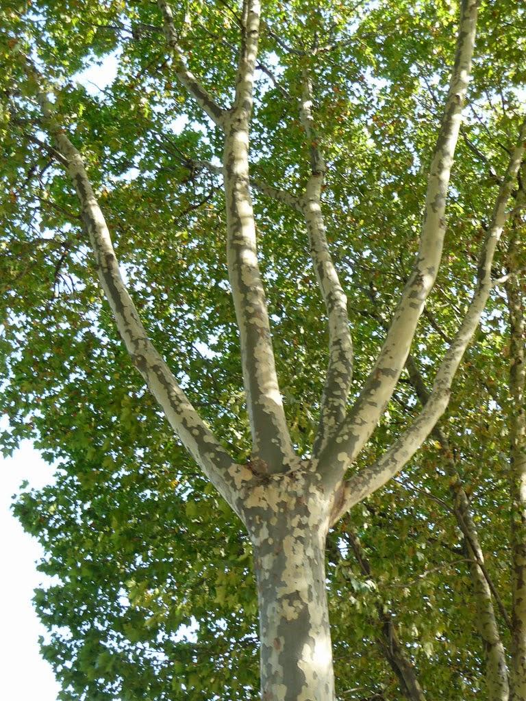 mon arbreÎle de vivre… le douaire : tout savoir sur le platane