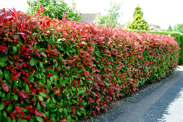 Interior Design Advice Finding The Right Hedging Plants