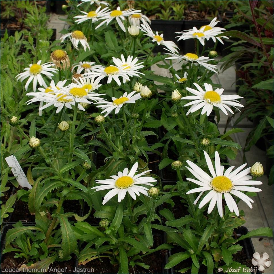 Leucanthemum 'Angel' - Jastrun 'Angel'