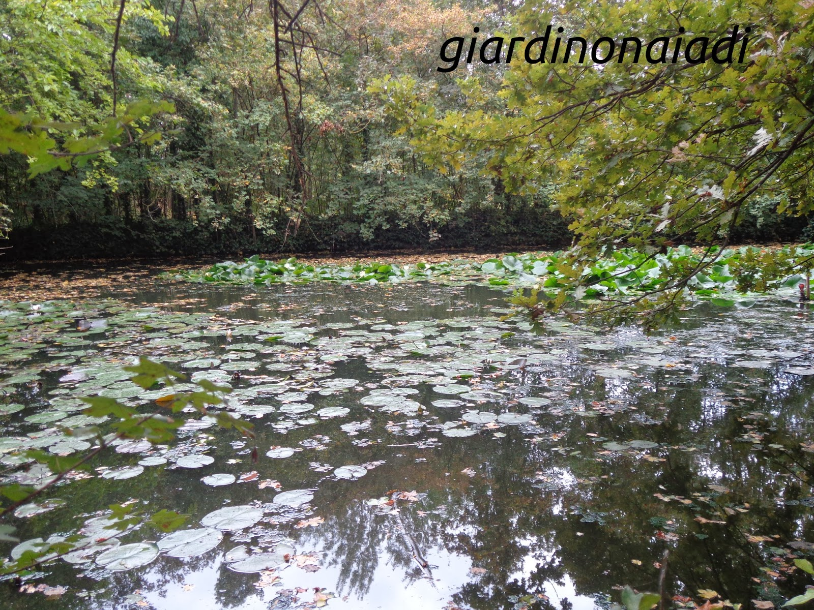Il giardino delle naiadi cigni reali i sovrani del laghetto for Laghetto naturale