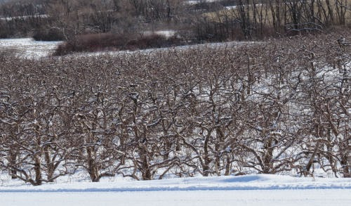 apple orchard in winter