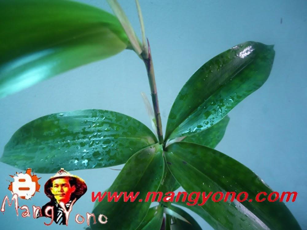 Bambu jepang dracena