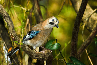 Pajarillo silvestre en el bosque   Birds of the forest (imagenes paisajes )