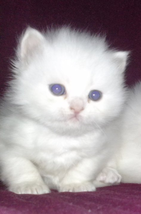white domestic longhair cat