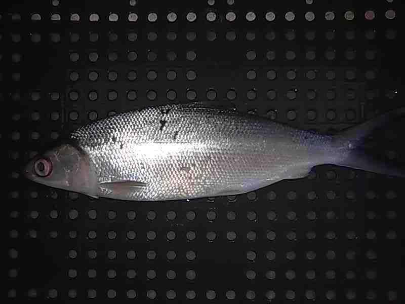 Tips Menghilangkan Bau Tanah Lumpur Pada Ikan Bandeng