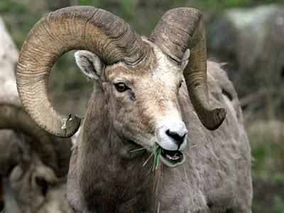 Big Horn Ram
