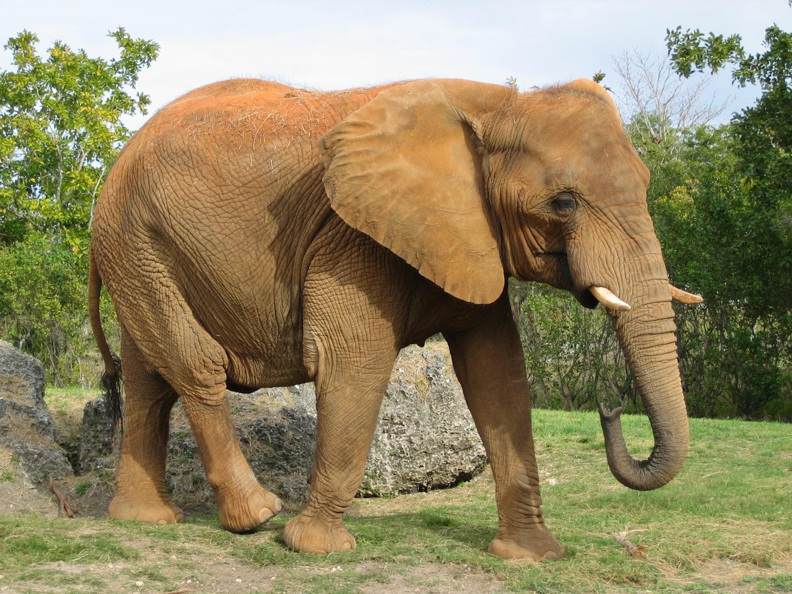 African elephant miami