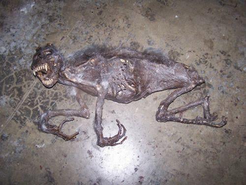 Corpo de um chupacabra finalmente encontrado