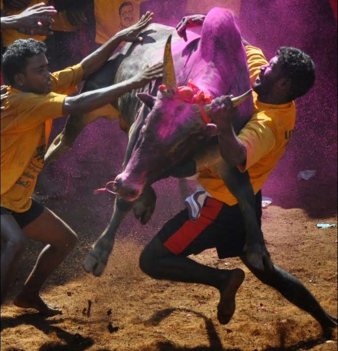 A player taming a bull! - Alanganallur, 2011
