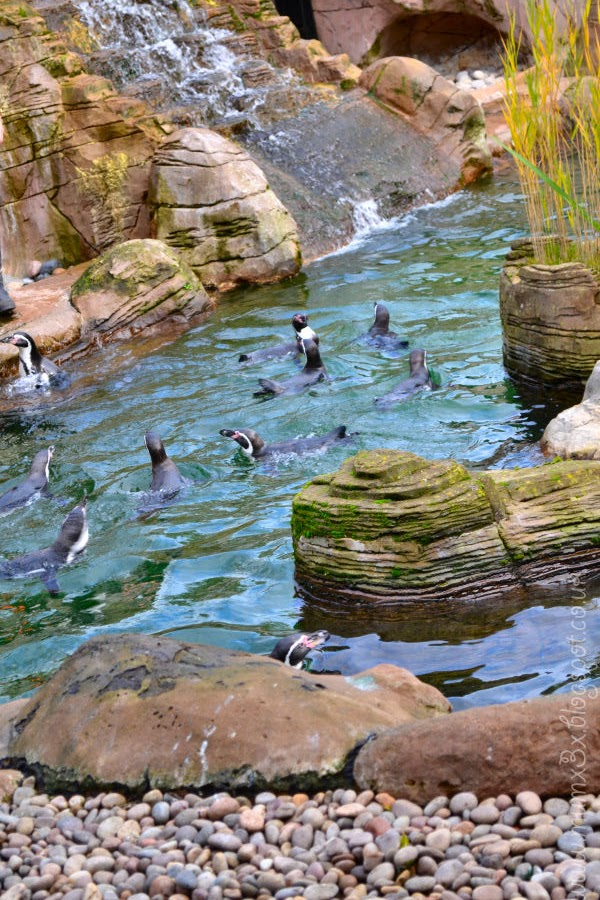 Penguins at colchester zoo!!