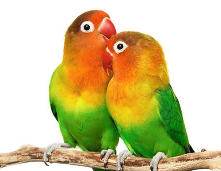 Image Result For Www Cara Merawat Lovebird