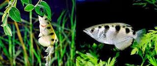 ikan sumpit