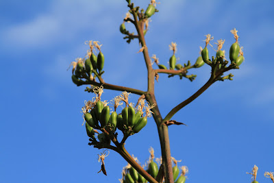 Agave parryi – Parry's Agave or Century Plant Spike