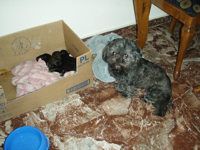 shih tzu with new born puppies