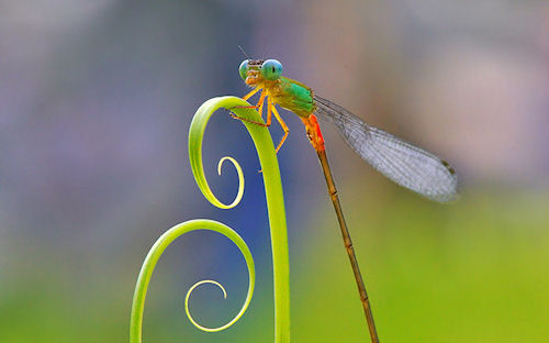 Liblula by Nordin Seruyan - Dragonfly