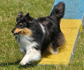 meet The KNIGHTs Sheltie ... SIPZIE, Belgium import