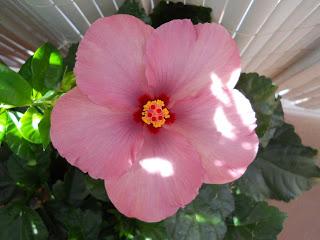 flor de la rosa de china