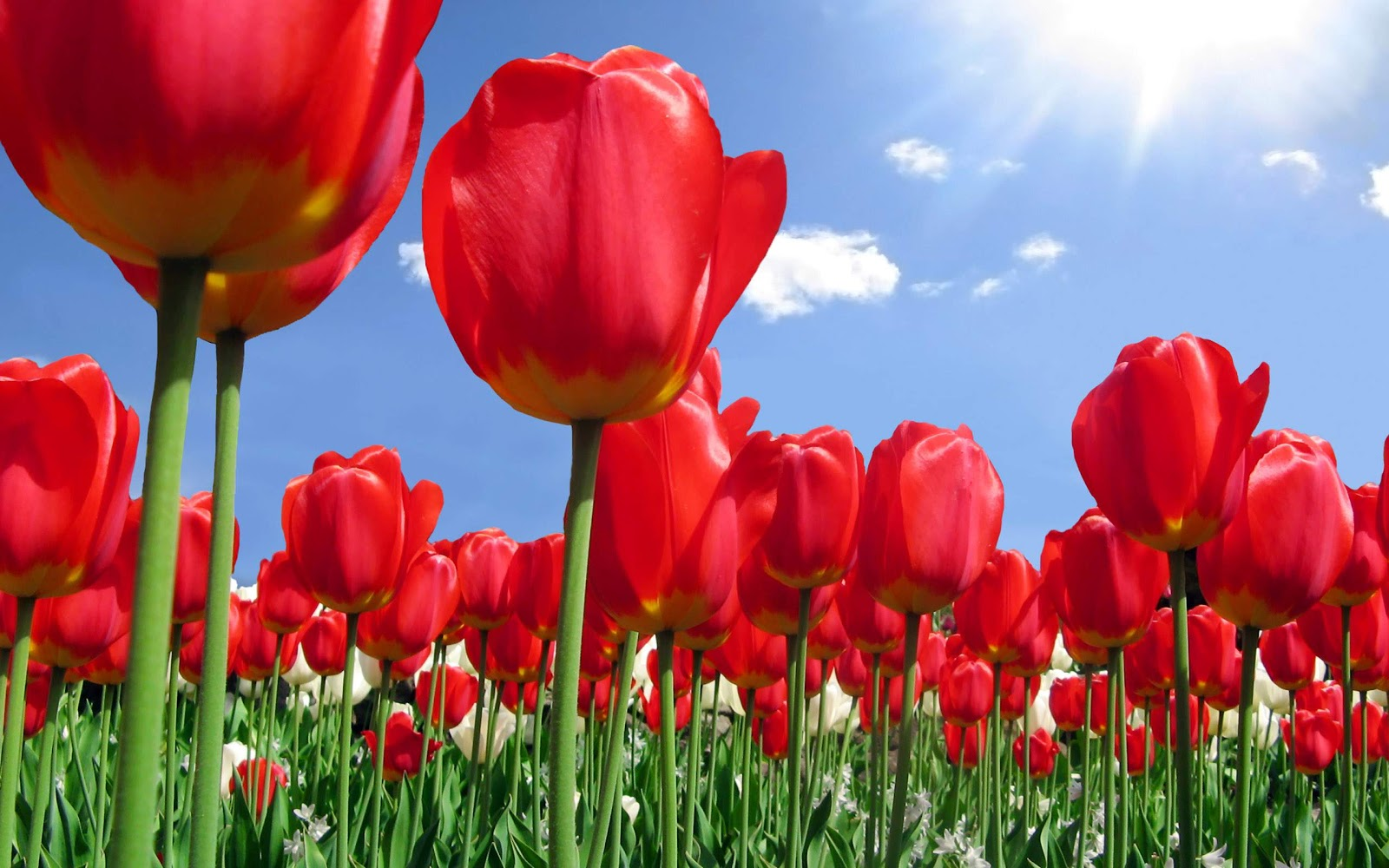 Romantic Flowers: Tulip Flower Ljubicica