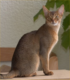 abyssinian cat pets info photo wallpaper