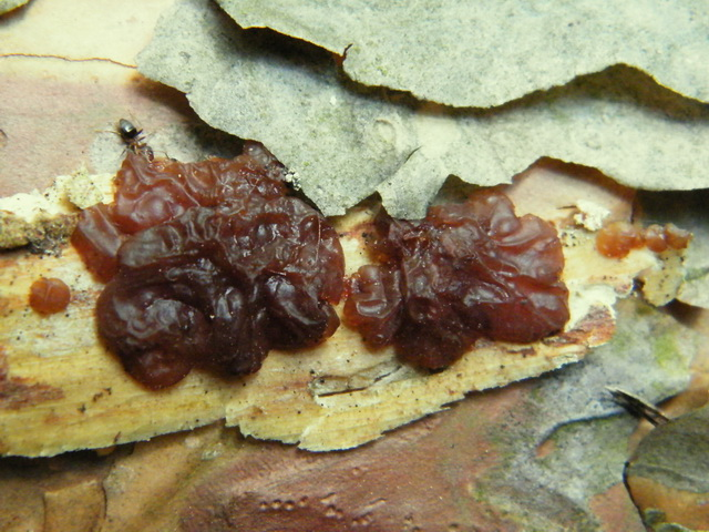 Exidia saccharina