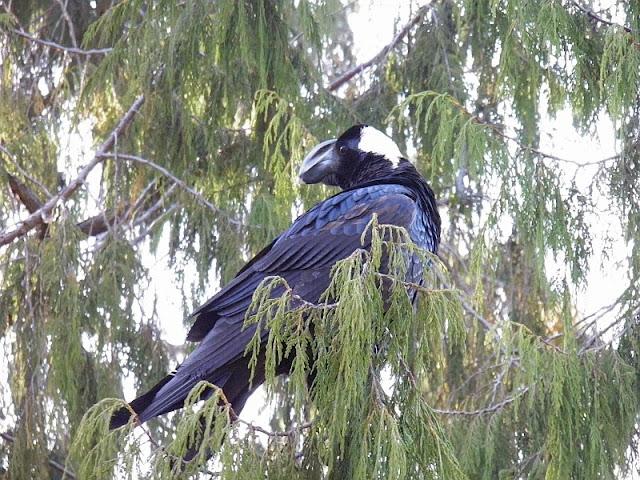 Corvus crassirostris