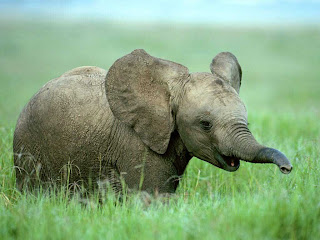 Baby Elephants Wallpapers