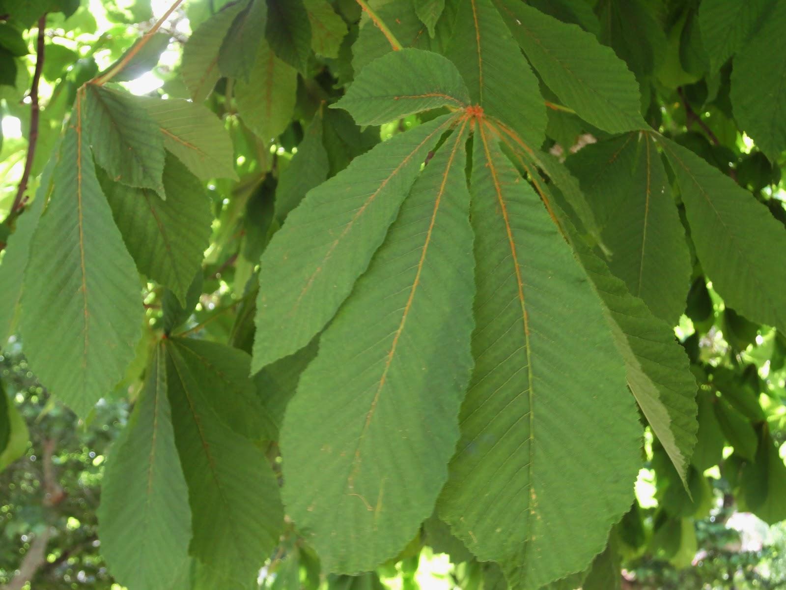 Arboles y arbustos de arag n casta o de indias aesculus for Arbustos de hoja caduca