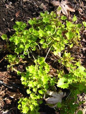 Campanula garganica Dickson's Gold Italian bellflower by garden muses: a Toronto gardening blog