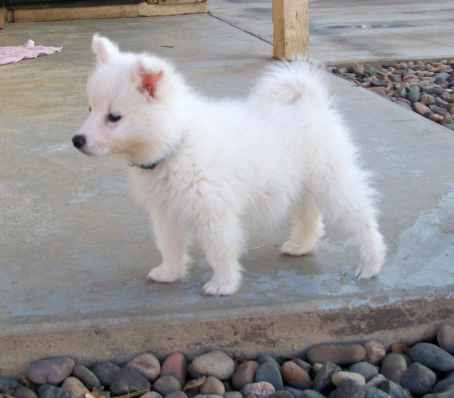 American eskimo dog black and white - photo#14