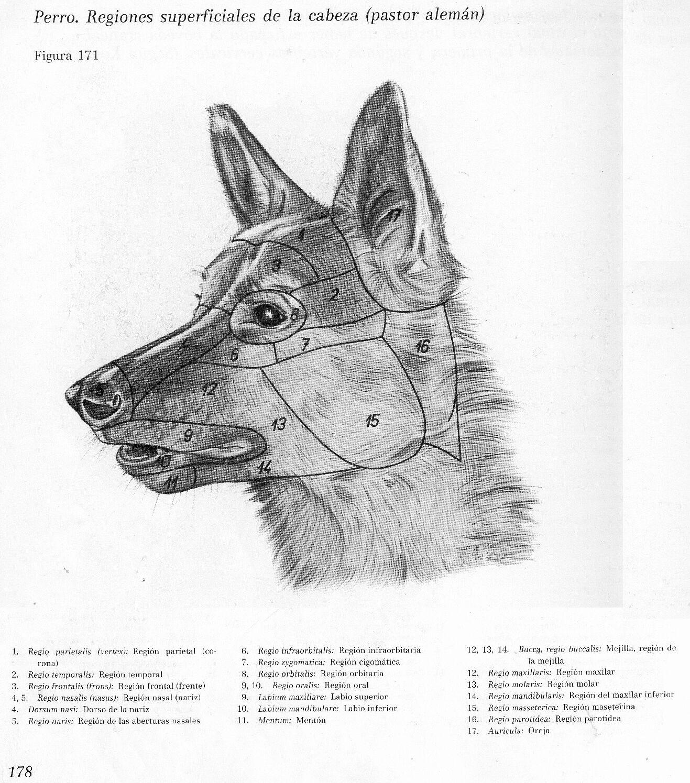 anatomia veterinaria  cr u00e1neo de caninos