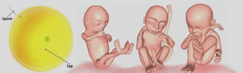 3D Pregnancy Calendar