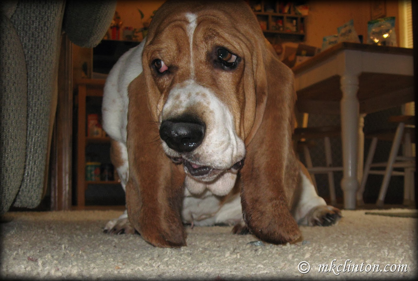 Basset with PetSafe's Indigo dental bone for dogs