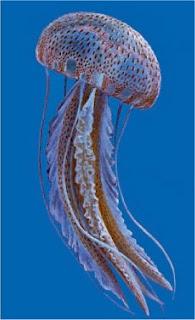 Pelagia Nocticula