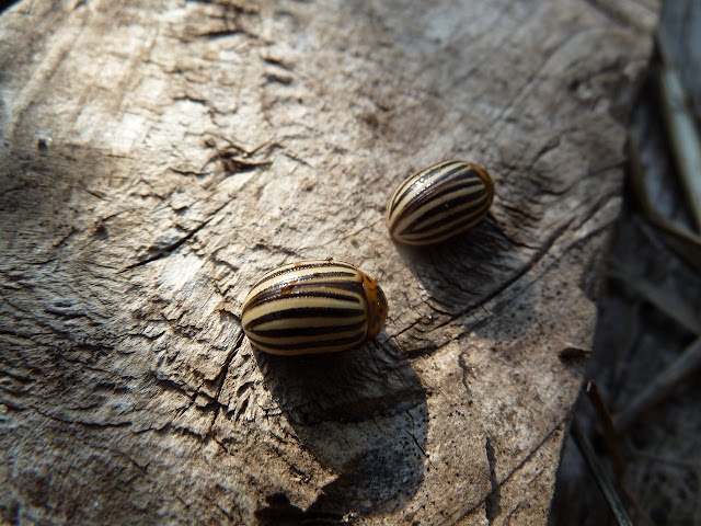 Colorado Potato Beetles, Floyd Bennett Field, Brooklyn