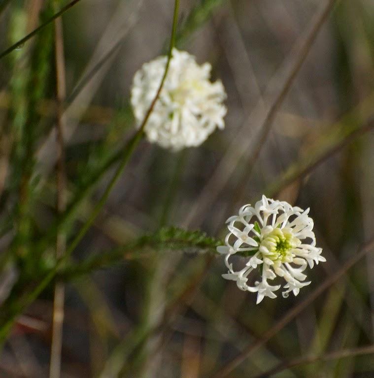 Banjine (Pimelea cf longiflora)
