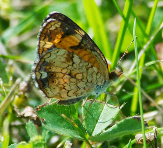 Pearl Crescent (Phycoides tharos)