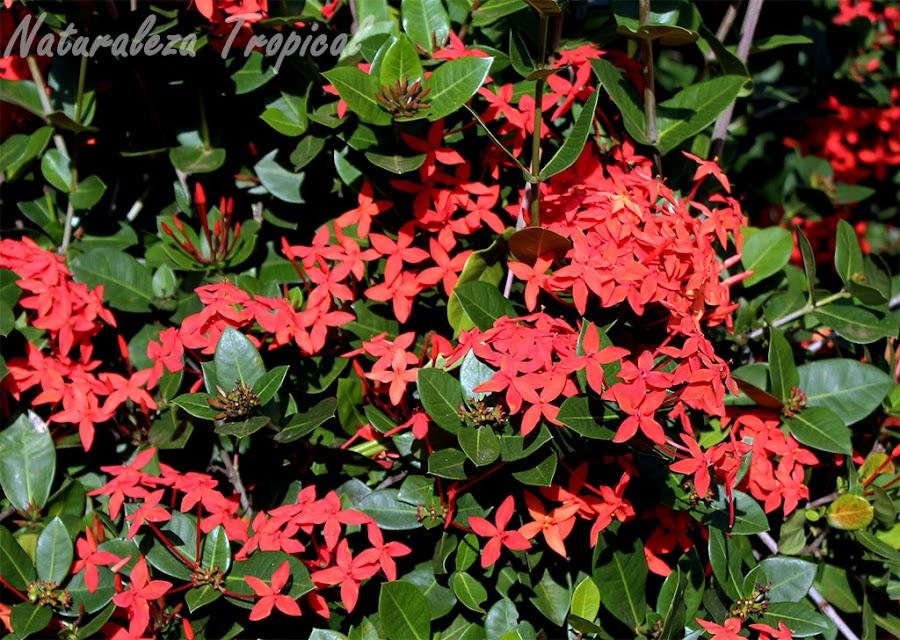 Flores abundantes de Ixora coccinea, Geranio de la jungla