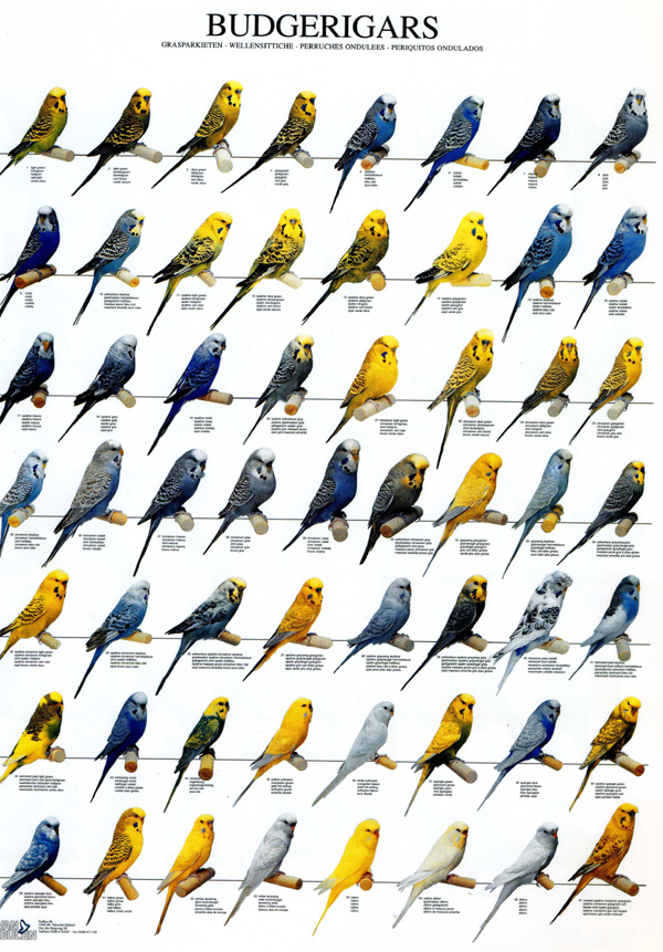 budgies are awesome budgerigar poster