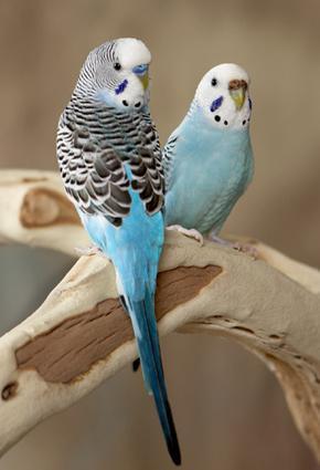 love-birds-عصافير الحب.....قمة الرومانسية والتضحية - ببغاء - ببغاوات - بغبغان