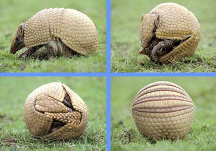 Armadillo mascota del Mundial de Brasil en peligro de extinción
