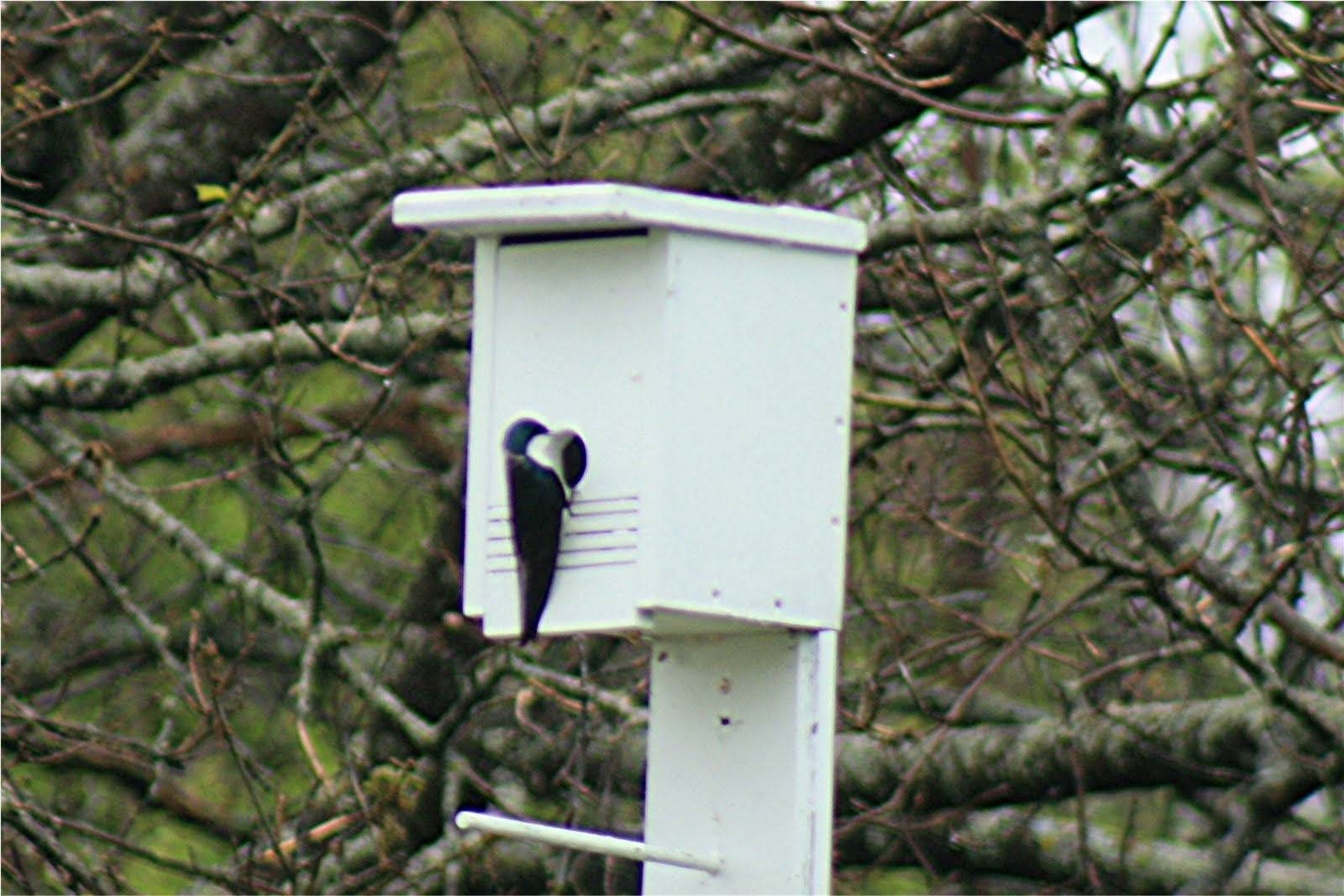 Tree Swallow Houses 94