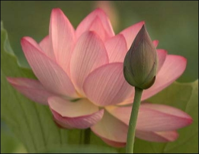Common Name Lotus