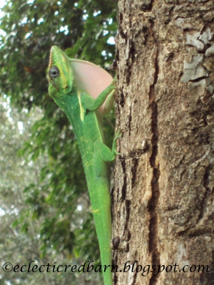 Eclectic Red Barn: Florida Green Gecko Marking His Territory