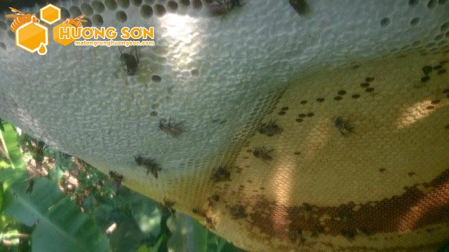 Bán mật ong rừng 100% - 11