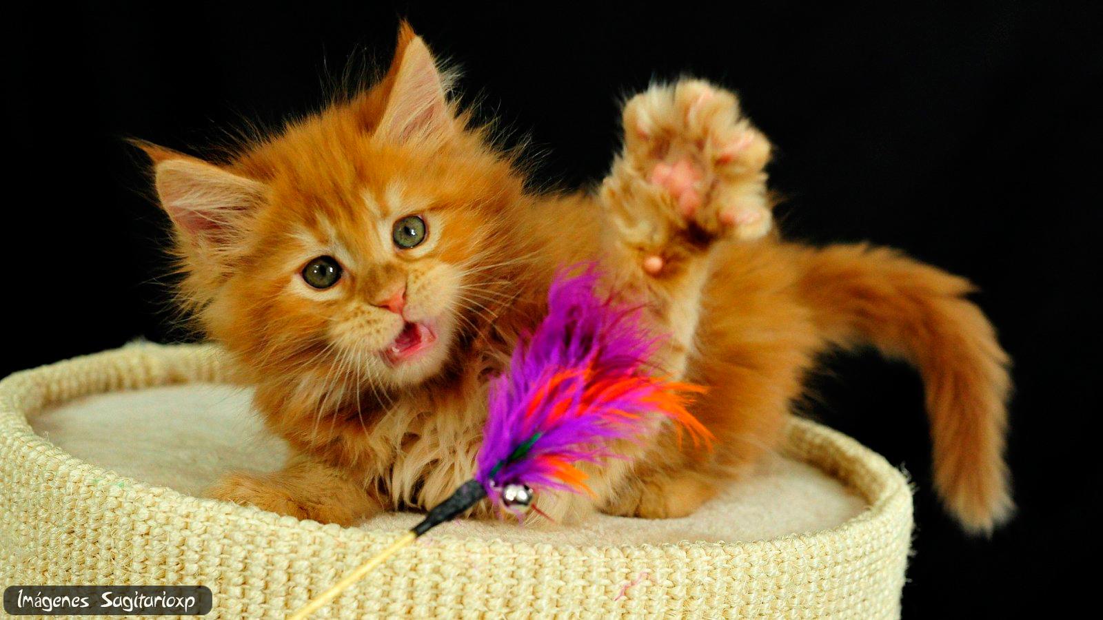 Gatito jugando con plumas de colores | Fondo - Imágenes Para ...