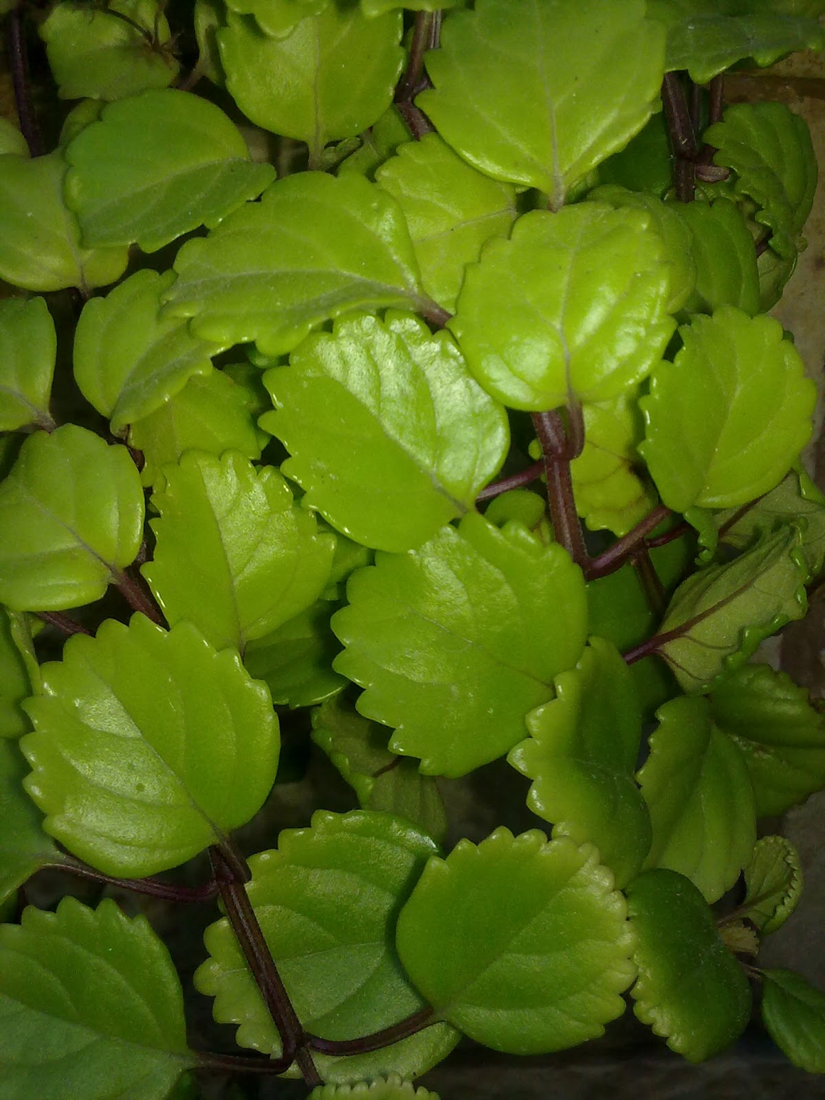 La superstici n de las plantas entre patios y plantas - Planta de la buena suerte ...