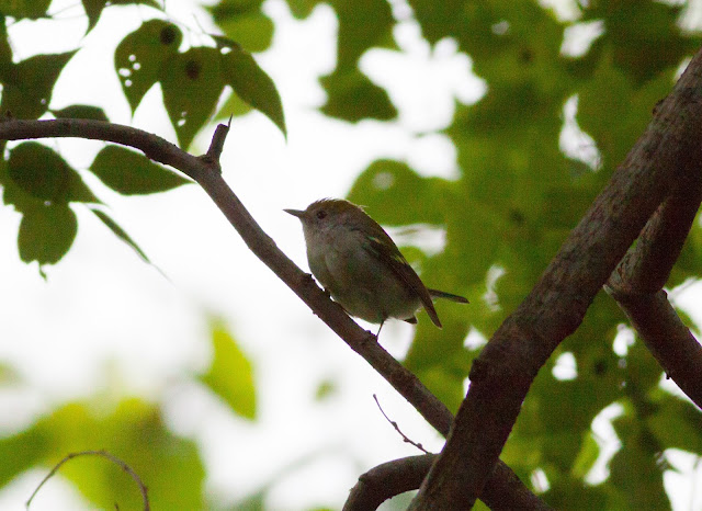 Chestnut-sided Warbler - Central Park, New York