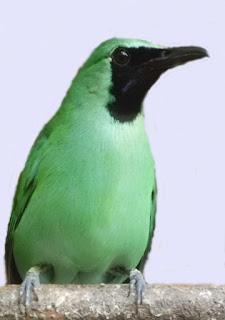 burung cucak hijau hariyanto