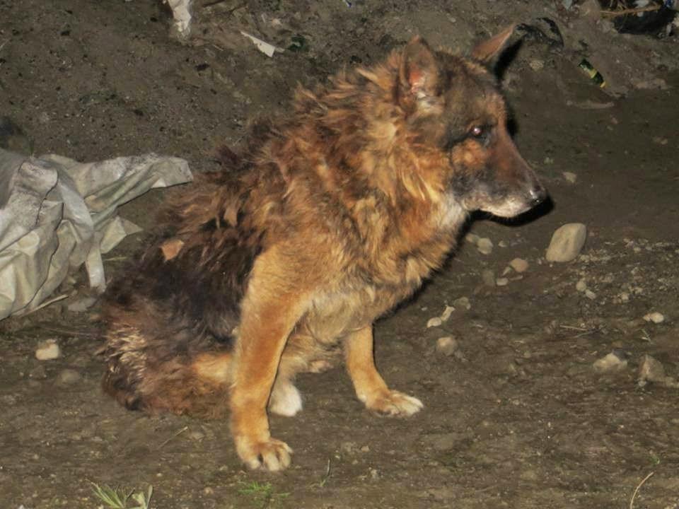 pastore tedesco lupo adozione cane
